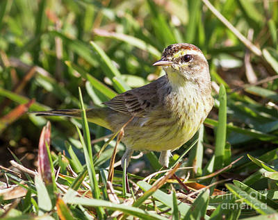Photograph - Sparrow In The Grass by David Cutts