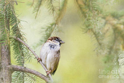 Nikki Vig Royalty-Free and Rights-Managed Images - Sparrow in the Pines by Nikki Vig