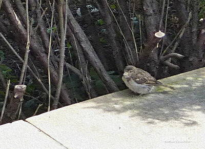 Photograph - Sparrow In The Shade by Kathie Chicoine