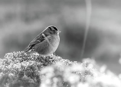 Photograph - Sparrow by Jonathan Nguyen
