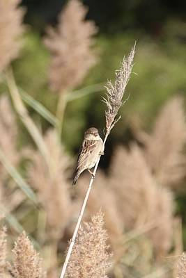Photograph - Sparrow On A Reed by Karen Silvestri