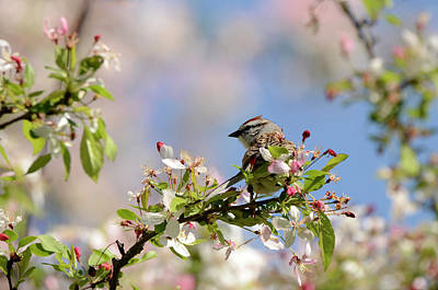 Photograph - Sparrow On Blossoms by Ann Bridges