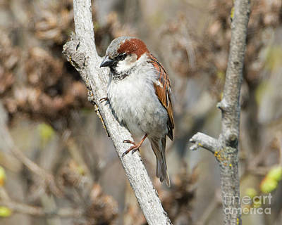 Sparrow Photograph - Sparrow Perch by Mike Dawson