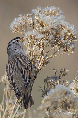 Photograph - Sparrow by Ron Woodbury