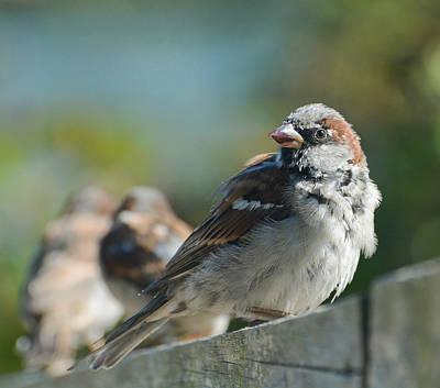 Photograph - Sparrow Trio by Fraida Gutovich