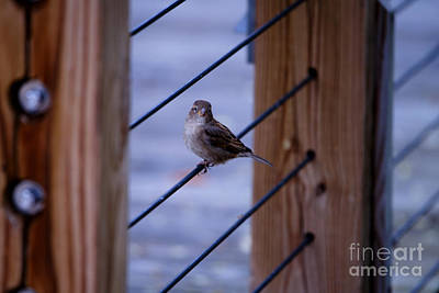 Photograph - Sparrow Waits by Linda Shafer