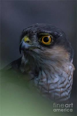 Photograph - Sparrowhawk by Jorgen Norgaard