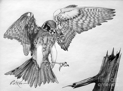 Sparrowhawk Art Print by Roy Anthony Kaelin