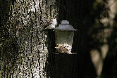 Photograph - Sparrows At The Feeder by Margie Avellino