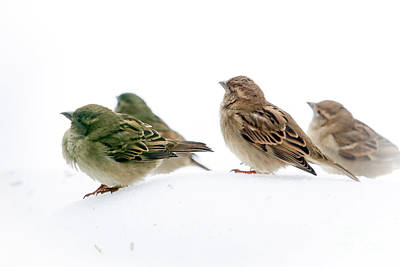 Photograph - Sparrows In The Snow by Eleanor Abramson