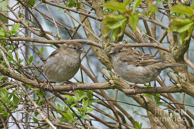 Photograph - Sparrows by Terri Waters