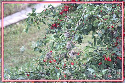 Photograph - Sparrows With Cherries by Donna L Munro