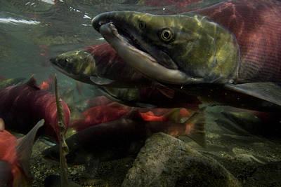 Spawning Salmon Dominate Traffic Art Print