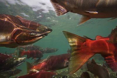 Spawning Salmon In The Ozernaya River Art Print by Randy Olson