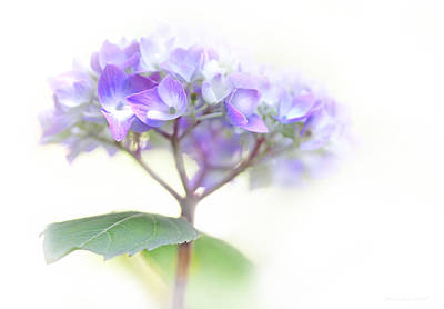 Purple Hydrangeas Photograph - Speak Softly Hydrangea Flower by Jennie Marie Schell