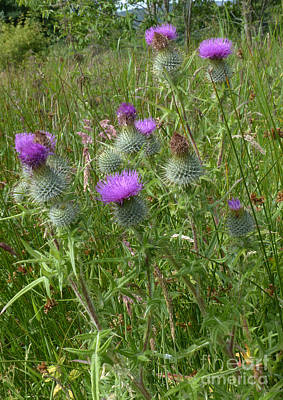 Photograph - Spear Plume Thistles - Emblem Of Scotland by Phil Banks