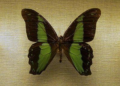 Butterfly Photograph - Specimen by JAMART Photography