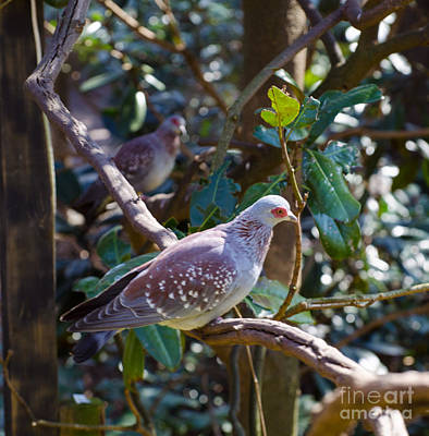 Photograph - Speckle Pigeon by Donna Brown