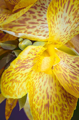 Canna Photograph - Speckled Canna by Christi Kraft