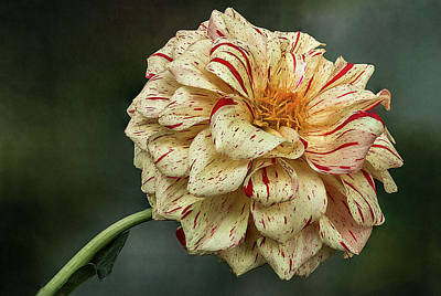 Photograph - Speckled Dahlia Flower by Patti Deters