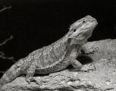 Photograph - Speckled Iguana Lizard by Marilyn Hunt
