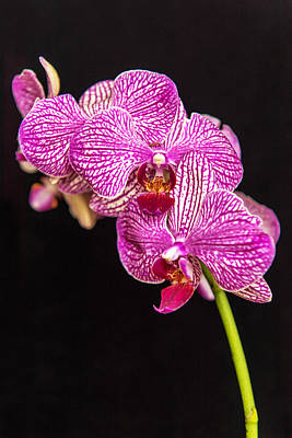 Photograph - Speckled Orchid On Black by Willie Harper