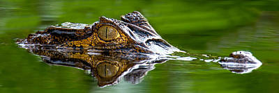 Spectacled Caiman Caiman Crocodilus Art Print