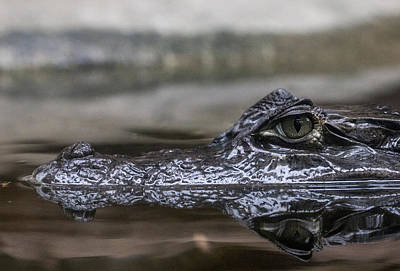 Photograph - Spectacled Caiman by Pietro Ebner