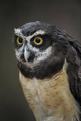 Photograph - Spectacled Owl by Tyson and Kathy Smith