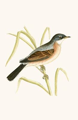 Warbler Painting - Spectacled Warbler by English School