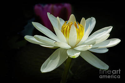 Photograph - Spectacular White Water Lily by Sabrina L Ryan