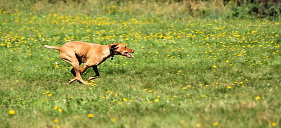 Photograph - Speddy Rhodesian Ridgeback by Elenarts - Elena Duvernay photo