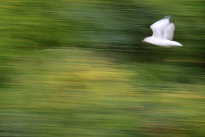 Photograph - Speed In Flight by Karol Livote