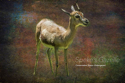 Photograph - Speke's Gazelle  by Belinda Greb