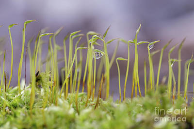 Nikki Vig Royalty-Free and Rights-Managed Images - Sphagnum Moss Droplets by Nikki Vig