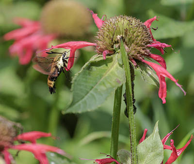 Horsemint Photograph - Sphinx Moth 2017-1 by Thomas Young