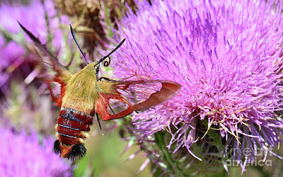 Photograph - Sphinx Moth On Thistle by Nanette OHara