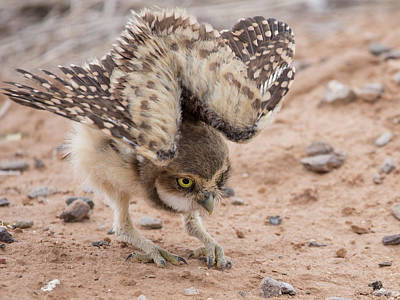 Photograph - Sphinx Owlet by Sue Cullumber
