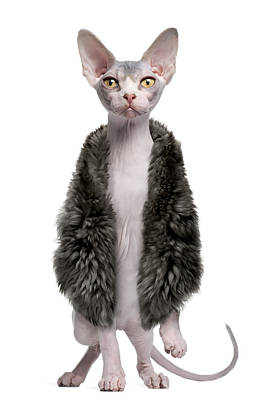 Hairless Cat Photograph - Sphynx Kitten Wearing Fur by Life On White