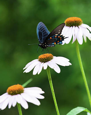 Photograph - Spice Bush Swallowtail Echinacea Trio by Lara Ellis