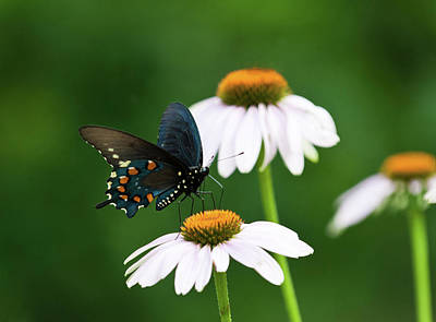 Photograph - Spice Bush Swallowtail On Echinacea 2 by Lara Ellis