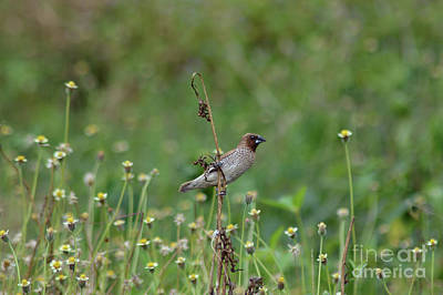 Photograph - Spice Finch by Michelle Meenawong