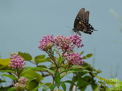 Art Print featuring the photograph Spicebush Butterfly by Donald C Morgan