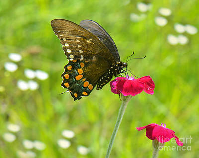Photograph - Spicebush Swallowtail by Amy Porter
