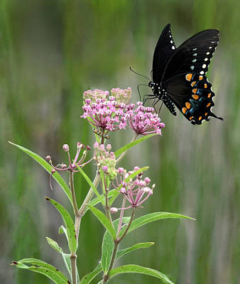 Photograph - Spicebush Swallowtail. by Art Cole