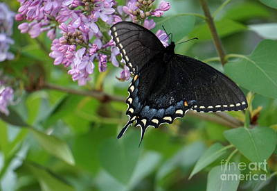 Photograph - Spicebush Swallowtail by Brenda Bostic