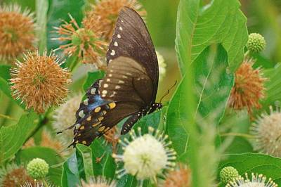 Photograph - Spicebush Swallowtail by Buddy Scott