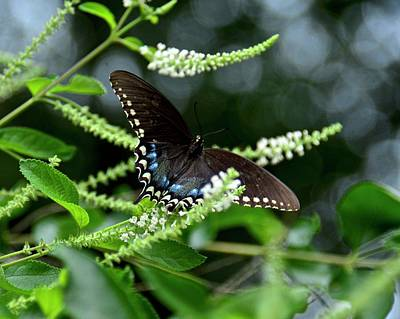 Photograph - Spicebush Swallowtail Butterfly by Carol Bradley