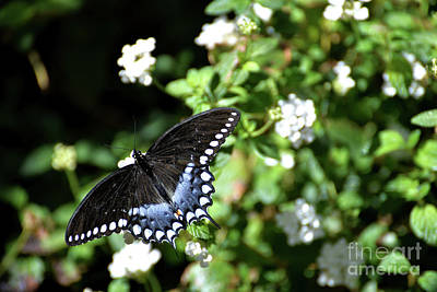 Photograph - Spicebush Swallowtail Butterfly I by Denise Bruchman