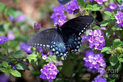 Photograph - Spicebush Swallowtail Butterfly II by Denise Bruchman